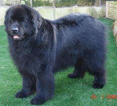 I have a thing for really big dogs and Newfoundlands just look like big, cuddly teddy bears. They are probably one of the most laidback dog breeds around. Gentle giants by nature.