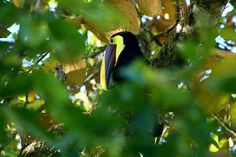 Chesnut mandibled Toucan @Costa Rica @Andreas Grieger Photography
