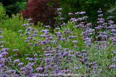 Fragrant Salvia leucophylla (Purple sage, Gray sage) flowering in California native plant garden, Schino