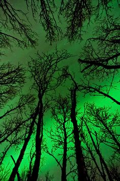 Trees and Northern Lights