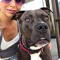 Adopt A Pet :: Baldo (Acc) - Whitestone, NY