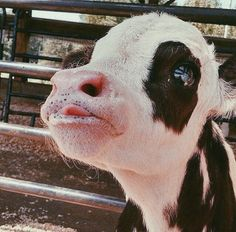 LK AT THIS FACE! PLEASE I ask you, if your are vegeatrian please consider You see babies like this are a waste product of the dairy ind Cute Baby Cow, Baby Cows, Cute Cows, Baby Elephants, Cute Creatures, Beautiful Creatures, Animals Beautiful, Majestic Animals, Farm Animals