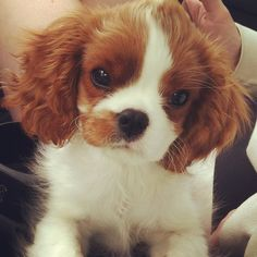 King Charles Cavalier Spaniel. Yes, don't I look like Royalty?