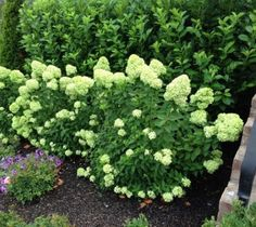 Little Lime Hardy Hydrangea hydrangea paniculata little lime Compared to its famous sibling 'Limelight', Little Lime hardy hydrangea (Hydrangea paniculata) may seem like a pipsqueak. Don't let this pe