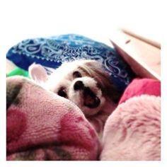 そろそろ寝ません? #おやすみなさい#gn #mosh #もっしゅ #モッシュ 🌝 🌝 🌝  #犬#いぬ#いぬバカ部#いぬすたぐらむ#犬のいる暮らし#親バカ#親バカ部#マルチーズ#シーズー#mix犬#ミックス犬 #雑種#わんこ#わんわん#愛犬#dog#doglover#doglife#lovedog#maltese#shihtzu#dogstagram#instadog#dogdays#mydog