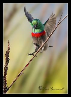 southern double collared sunbird by   Louis Groenewald