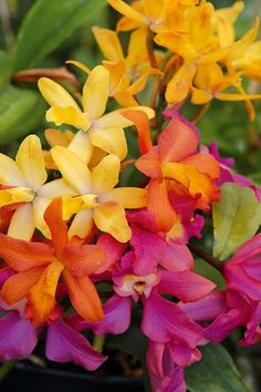Laeliocattleya, a complex and highly popular orchid hybrid #flowers