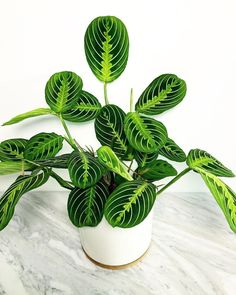 Lemon Lime Maranta in the CPG 6 inch ceramic white pot with bamboo saucer. I really love the contrast of the green against the white. Planting Succulents, Garden Plants, Planting Flowers, Inside Plants, Fake Plants, House Plants Decor, Plant Decor, Home Flower Arrangements, Prayer Plant