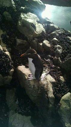 Pingüino penacho amarillo. PD. Santa Cruz