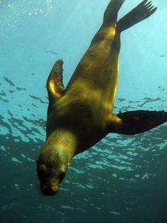 sea lion in Mexico