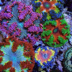 @Regrann from @reef_goddess: These rare color rock anemones are flowers that…
