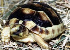 Baby Marginated Tortoise (Testudo marginata) -  Found in Greece, Italy and the Balkans in southern Europe.  Largest European tortoise. The posterior end of the shell has a saw-like formation, flanged outward like a bell.