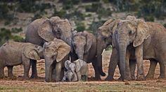 Bing Image Archive: African elephants (© James Hager/Offset)(Bing New Zealand)