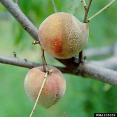 Brown rot fungus is a fungal disease that can devastate stone crop fruits such as nectarines, peaches, cherries and plums. Learn more about this disease and how to control it in this article.