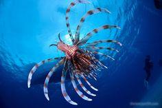 Red Lion Fish ( Pez León) Jun Fukui Underwater Photo