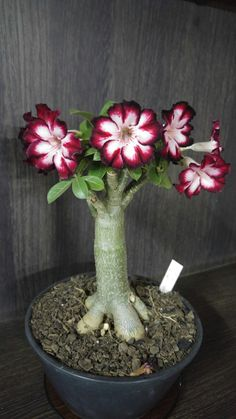 Flower Garden Super Gorgeous Flowers You Should Grow in Garden - Bonsai Ficus, Bonsai Seeds, Bonsai Garden, Garden Plants, House Plants, Cacti And Succulents, Planting Succulents, Cactus Plants, Planting Flowers