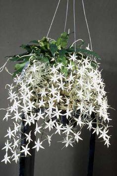 Orchid: Aerangis biloba 'Jason'