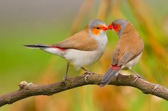 The Orange-cheeked Waxbill (Estrilda melpoda) is a common species of estrildid finch native to western and central Africa.
