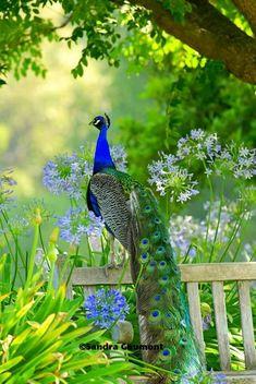 Pavone #beautifulbird