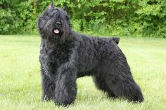 The first standard that was drawn up in 1912 for the Bouvier des Flandres created a great interest in the breed. A large number of the Bouvier des Flandres dogs were, however, lost during the First World War, when they served as ambulance and messenger dogs. A dog named Ch. Nic de Sottegem survived the war and proved to have great quality. All the modern Bouviers are descendants of this dog.