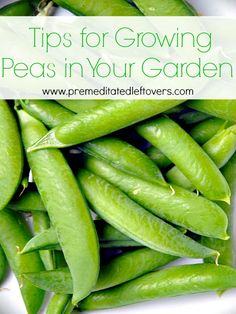 Tips for Growing Peas in Your Garden: Vegetable Gardening Ideas including how to grow peas from seed, how to transplant pea seedlings, how to care for pea plants, when and how to harvest peas.