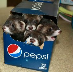 Long soda boxes are the perfect size for ferrets!