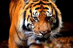 I have a love for wild cats. Siberian Tiger.