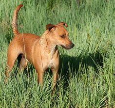 The Africanis is a landrace of South African dogs. It is believed to be of ancient origin, directly descended from hounds and pariah dogs of ancient Africa, introduced into the Nile Valley from the Levant. All Animals Photos, Animals And Pets, Wild Animals, Hounds Of Love, Puppy Store, Rare Dog Breeds, African Wild Dog, Famous Dogs, Group Of Dogs