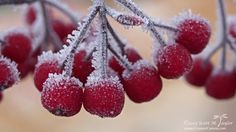 Chilled Berries - On an icy, foggy morning, large ice crystals have formed on these bright red berries.