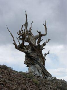 Bristlecone pine tree, California