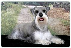 """Miniature Schnauzer Cutting Board by Canine Designs. $29.95. Hygenic and easy to clean.. Heat resistant.. Scratch Resistant - imprinted on back. Size: 8"""" x 11"""". Made of tempered glass making it virtually unbreakable.. Our beautiful, dog breed cutting boards will enhance any kitchen. They make great gifts, are made of tempered glass and measure 9"""" x 12"""". They are heat resistant, scratch resistant, virtually unbreakable, easily cleaned and dishwasher safe."""