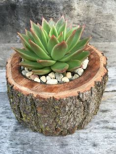Succulent in a Natural Wood Planter by Succsforallseasons on Etsy