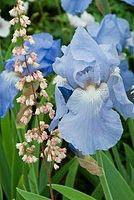 Iris Sugar Blues