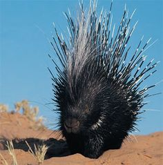 Image result for North American porcupine  Picture: ANDREW ZUCKERMAN