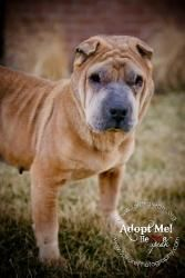 Vana is an adoptable Shar Pei Dog in Independence, MO. You can fill out an adoption application online on our official website. Email T.A.R.A.   T.A.R.A.s Web Site   On-Line Application � Hey there, ...