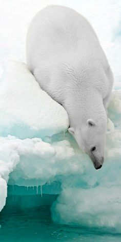 Polar bear, the Arctic.