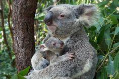Koala (Phascolarctos cinereus) mother mother cuddling her seven-month-old joey, Queensland, Australia.