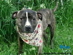 Petango.com – Meet Brice 51, a 1 year 1 month Terrier, Pit Bull / Mix available for adoption in CLEVELAND, OH