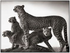 Nick Brandt, Cheetah and Cubs, Massai Mara