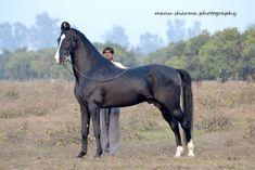 stallion RATNAKAR (sired by Sewadiya)©Manu Sharma Photography