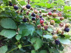Strawberries & Blackberries Everywhere! #stawberries #berries http://www.realfx.com/