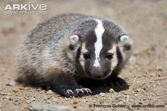 American Baby Badger | American badger photo - Taxidea taxus - G135681 | ARKive