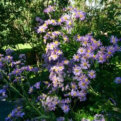 Who doesn't love a cheerful purple aster?