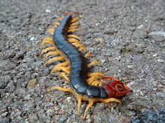 Dangerous Centipede-This centipede, a Japanese mukade, has a dangerous bite. Many centipedes have venom, and although not dangerous to humans, their bite is quite painful. Always call an exterminator to help you get rid of them safely for you and your family and pets.