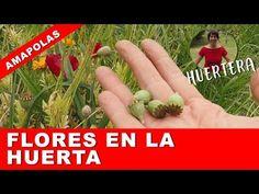 Cómo es la planta de la AMAPOLA? 🐝🌻🌸🥀💮 Flores en la huerta - en el jardín - YouTube