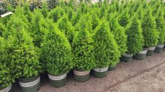Dwarf Alberta Spruce - A perfect cone shaped dwarf conifer displaying dense green needles which are soft to the touch. Excellent as a miniature Christmas tree in natural form, or as an artistically pruned topiary. Makes a formal statement in the garden. Superb container specimen. Evergreen.