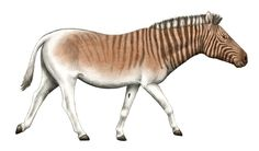 For comparison, that's my prognosis of how the Rau zebra of 2025 might look like based on the trend I see in the current animals of the Quagga Project: