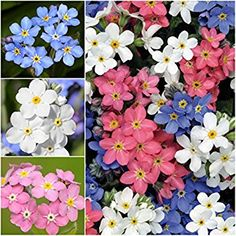 Flower seeds walmart flowers near me flowers near me seeds walmart flower seeds walmart primula primrose flower seeds super nova mix seeds primula primrose flower seeds super nova mix seeds perennial mightylinksfo
