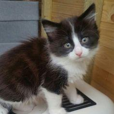 #adoptacat #darlington #catsprotection www.wearvalley.cats.org.uk