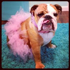 ❤ Daisy ~ such a pretty girl in pink! ❤ Posted on Daisy Mumford the English Bulldog